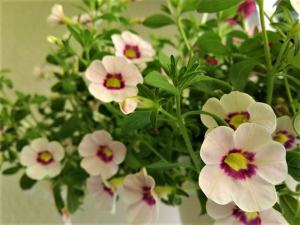 flori-albe
