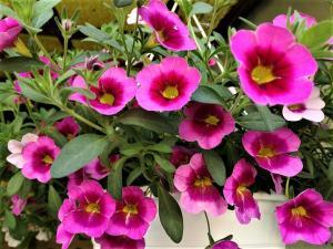 flori-roz
