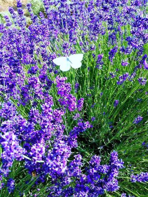 fluture-in-lavanda