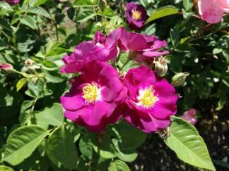 trandafiri12