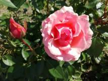 trandafiri13