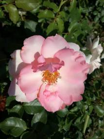 trandafiri3