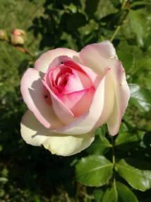 trandafiri4