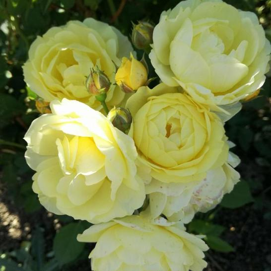 trandafiri5