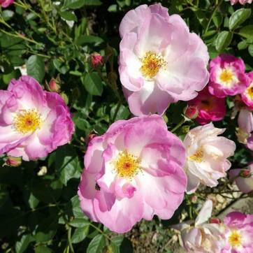 trandafiri7