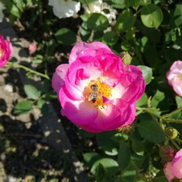 trandafiri9